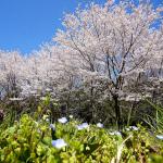 2012年の桜はNEX5-Nにて