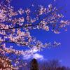 つくばの桜は今週末が見頃?
