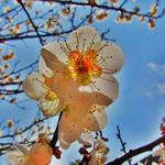 S90で初梅の花