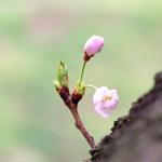 追悼の花見