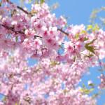 PENTAX MX-1で撮る桜風景