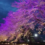 何とか間に合ったウシオライティングの桜ライトアップ(期間延長)