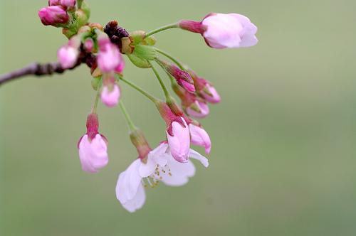 2011.Sakura